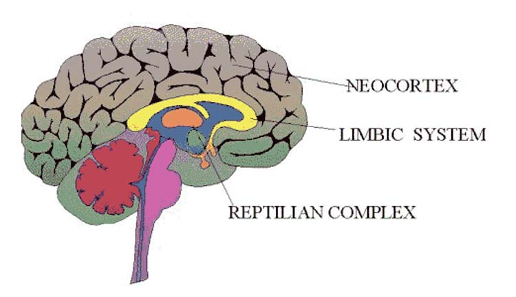 Illustration of a brain showing the Neocortex, Limbic Brain and the Reptilian Complex areas